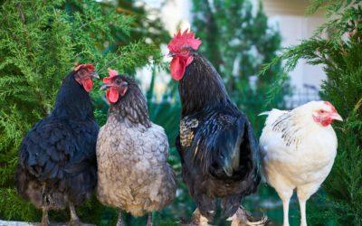 Alerte «élevée» face au risque d'introduction du virus de la grippe aviaire